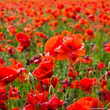 20,000 Common Red Field Poppy Seeds | Papaver Rhoeas Seeds