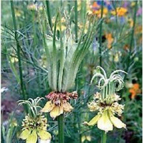 Flower - Nigella Orientalis - Transformer - 100 Seeds
