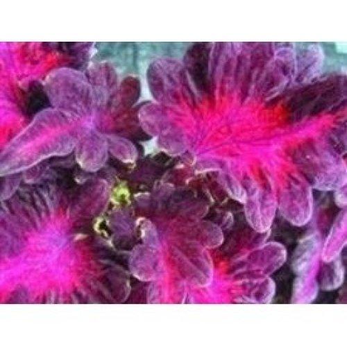 Flower - Coleus - Black Dragon - 150 Seeds