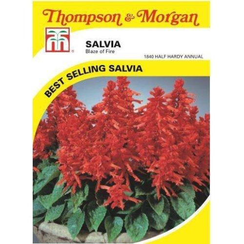Thompson & Morgan - Flowers - Salvia Blaze Of Fire - 100 Seed