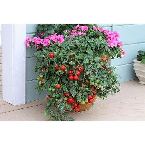 Vegetable - Tomato - Tumbling Tom Red - 15 Seeds