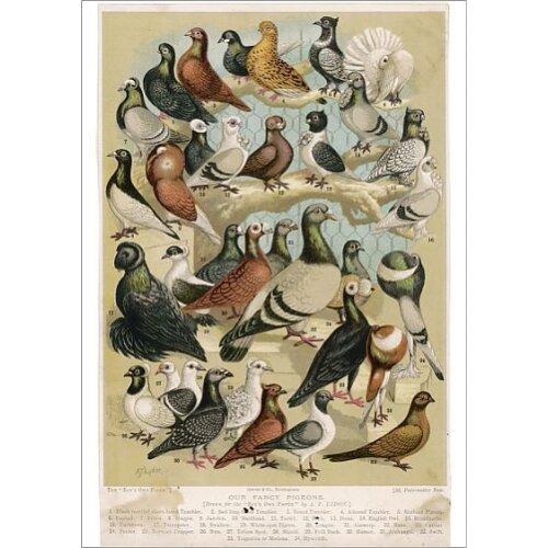Fancy Pigeon Breeds. Fancy pigeon breeds (Columbidae species) (Poster Print)