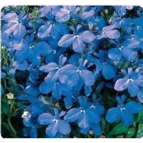 Flower - Lobelia Bedding - Riviera Sky Blue - 2000 Seeds