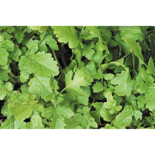 Green Manure - White Mustard - 1KG