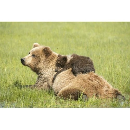 Posterazzi DPI12256200LARGE Grizzly Bear Ursus Arctos Horribilis Cub Lying on Its MotherS Back Amongst Poster Print - 38 x 24 in. - Large