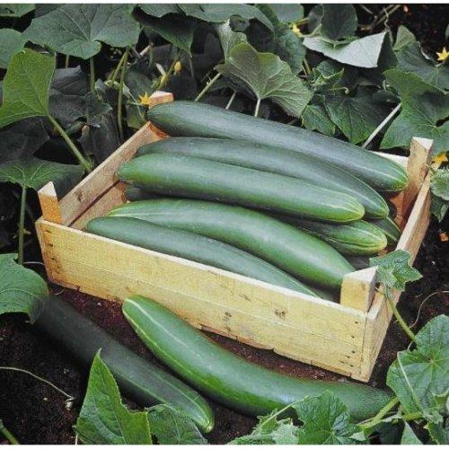 Organic - Vegetable - Cucumber Tanja - 10 Seeds (Standard)
