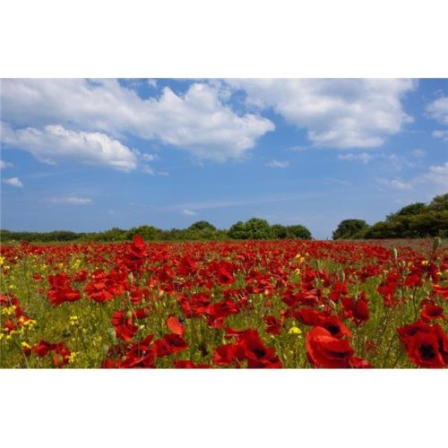 A Field Full of Red Flowers - Northumberland, England Poster Print, 38 x 24 - Large