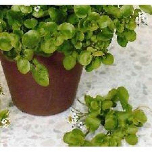 Salad - Cress - American / Land - 1400 Seeds