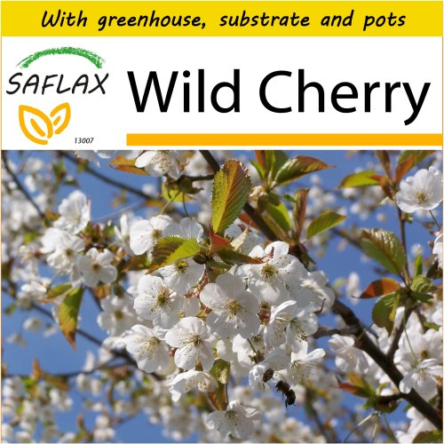 SAFLAX Potting Set - Wild Cherry - Prunus avium - 10 seeds - With mini greenhouse, potting substrate and 2 pots