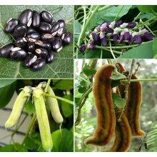 Seedstores: Mucuna Pruriens Velvet Bean or Lyon bean Seeds 50 Grams