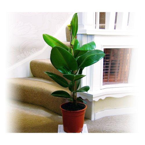 1 Robusta, Rubber Plant, Indian Rubber Tree- Large Floor Plant Evergreen Indoor Tree for Office House Garden