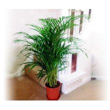 1 Areca Palm, Butterfly Palm, Cane Palm, Golden Feather Palm- Large Floor Plant Evergreen Indoor Tree for Office House Garden