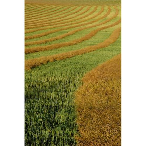 Rows of Canola Windrows Poster Print by Dean Muz, 22 x 34 - Large