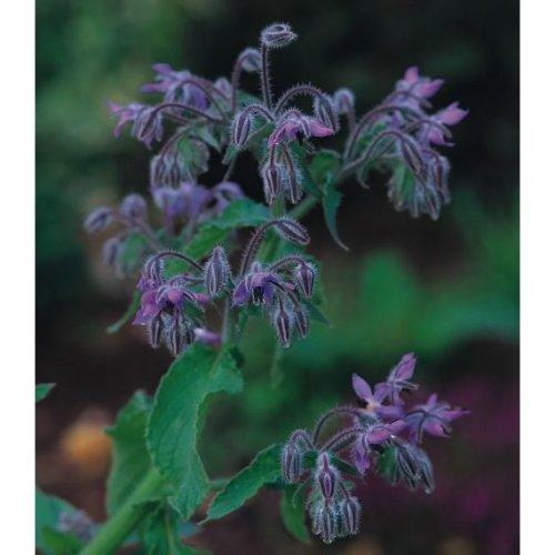 Organic - Herb - Borage - 20 Seeds