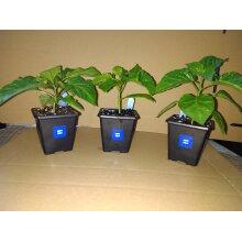 3x 7cm super hot Ghost chilli plant pack