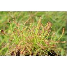 Drosera capensis Cape Sundew Young Plant 9cm Pot x 3 Pots/Plants