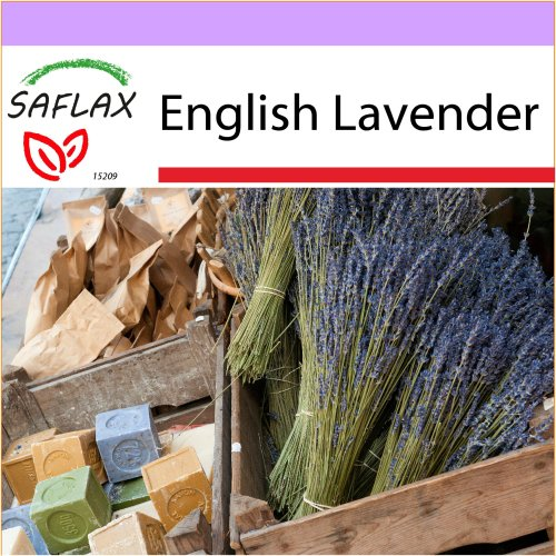SAFLAX  - English Lavender - Lavandula angustifolia - 150 seeds