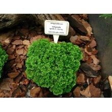 Selaginella apoda Meadow spikemoss Young Plant 9cm Pot x 3 Pots