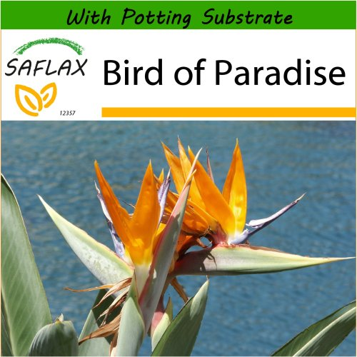SAFLAX  - Bird of Paradise - Strelitzia reginae - 5 seeds - With potting substrate for better cultivation