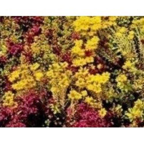 Flower - Sedum Mixture - Stonecrop Mix - 200 Seeds