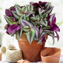 Tradescantia Zebrina   Premium Home Or Office Spiderwort   15-25Cm Potted