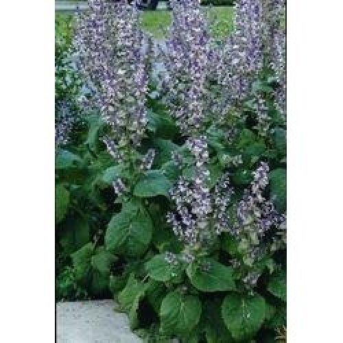 Herb - Clary Sage - 1000 Seeds