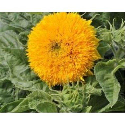 Flower - Sunflower - Sungold - 600 Seeds