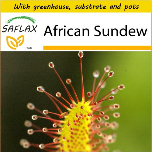 SAFLAX Potting Set - African Sundew - Drosera capensis - 200 seeds - With mini greenhouse, potting substrate and 2 pots