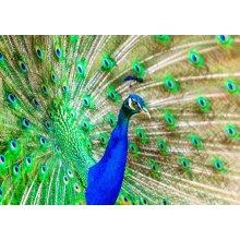 "Peacock Blank Greeting Card 8""x5.5"""