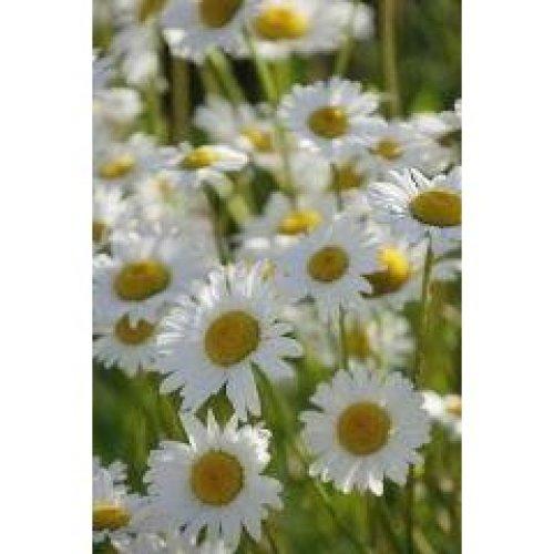 Wild Flower - Oxeye Daisy - Leucanthemum Vulgare - 6000 Seeds
