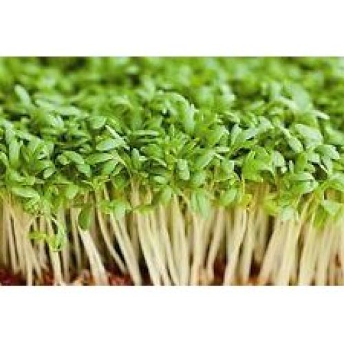 Salad - Cress - Common / Plain - 2000 Seeds
