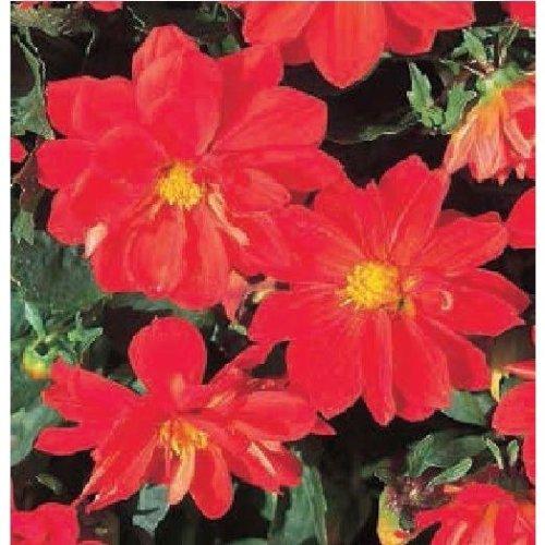 Flower - Dahlia - Figaro Red Shades - 20 Seeds