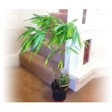 1 Bamboo Tree- Large Floor Plant Evergreen Indoor Outdoor Tree for Office House Garden