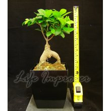 Easy Plants Ginseng Ficus Pot Belly Fig Bellied House Plant in Black Milano Pot Indoor Bonsai