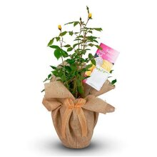 Golden Wedding Rose - 50th Anniversary Rose Bush - Gift Wrapped Golden Anniversary Rose