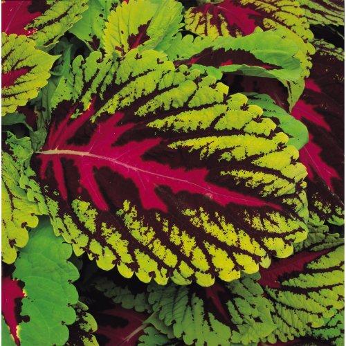 Flower - Coleus - Kong Scarlet - 10 Seeds
