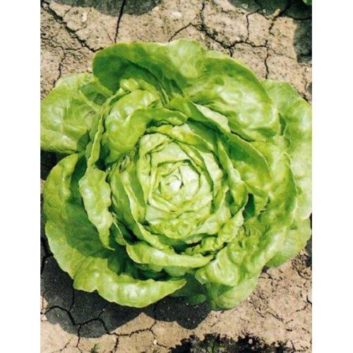 Organic - Vegetable - Lettuce Wintercrop - 150 Seeds