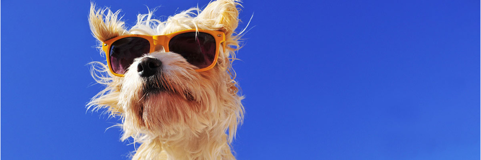 small dog with sunglasses on