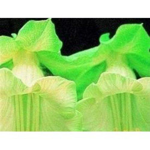 Flower - Cobaea Scandens - White - 10 Seeds