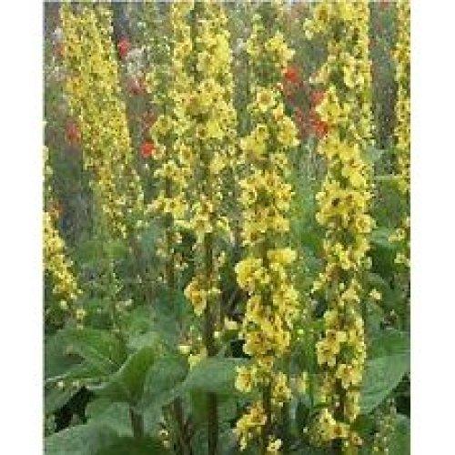 Wild Flower - Dark Mullein - Verbascum Nigrum - 2000 Seeds