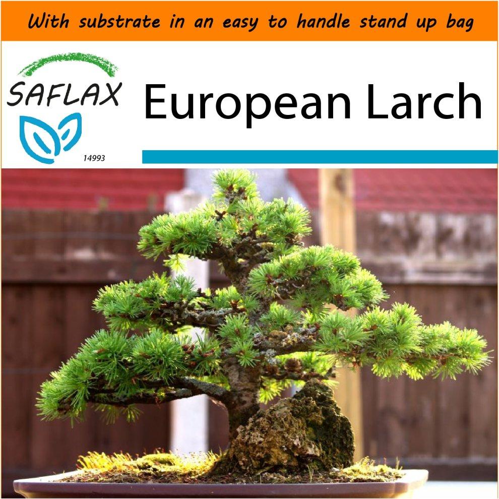 6 Seeds With Soil Stone Pine Pinus Pinea Saflax Bonsai Mimbarschool Com Ng