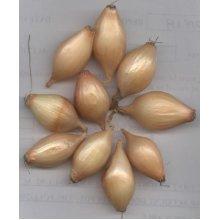 Onion Sets 500g SENSHYU YELLOW  AUTUMN PLANTING Ap 120 Single Sets