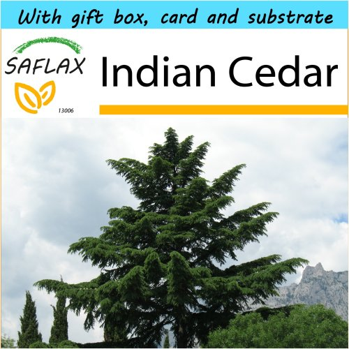 SAFLAX Gift Set - Indian Cedar - Cedrus deodara - 35 seeds - With gift box, card, label and potting substrate