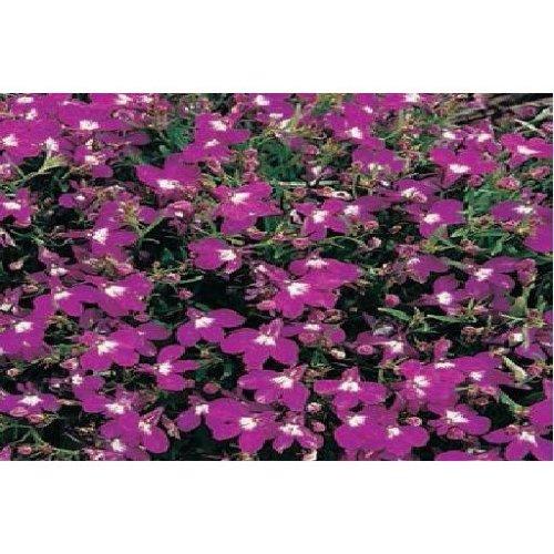 Flower - Lobelia Bedding - Rosamond - 5000 Seeds