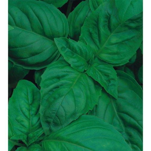 Organic Herb - Basil - Classic Italian - 300 Seeds
