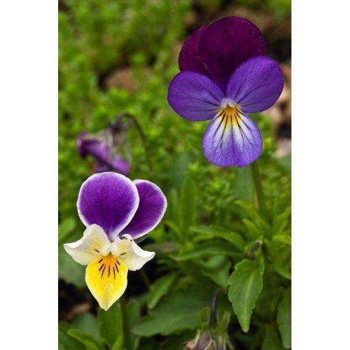 Wild Flower - Wild Pansy - Viola Tricolour - 500 Seeds