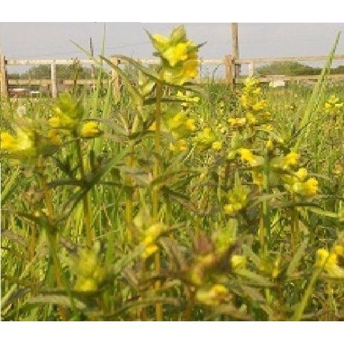 Wild Flower - Yellow Rattle - Rhinanthus Minor - 500g (XXXbulk)