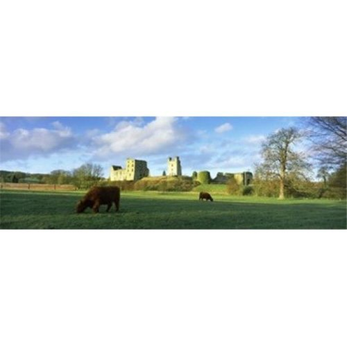 Highland cattle grazing in a field  Helmsley Castle  Helmsley  North Yorkshire  England Poster Print by  - 36 x 12
