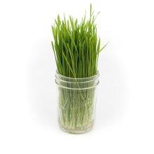 Fresh Ceylon Vegan & Organic Wheat-Grass, Fresh Wheatgrass For Healthy Edible