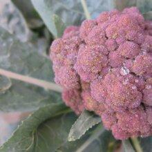 Purple Broccoli - Calabrese Purple - Vegetable Seeds